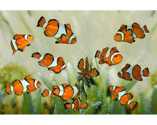 Livingwalls impression numérique «Clownfish» 031030
