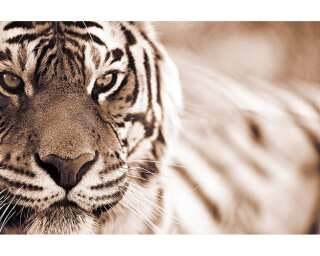 Photo wallpaper «Tiger» 036420