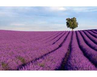 impression numérique «Lavender field» 036500