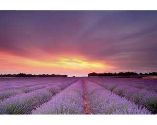 Livingwalls Фотообои «Lavender field at sunset» 036510