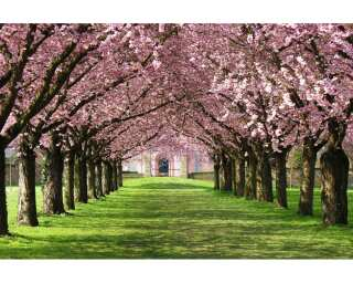 Fototapete «Pink blossom parkway» 036540