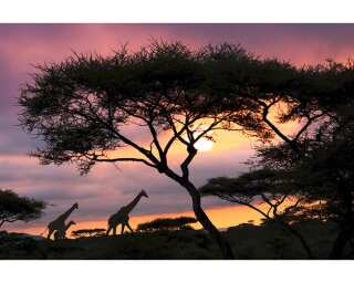 Livingwalls Фотообои «Giraffe at sunset» 036550