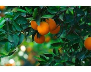 Livingwalls Fototapete «Orange tree» 036690