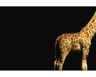 Architects Paper Photo wallpaper «Giraffe» 470035