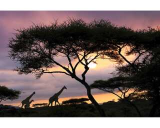 Fototapete «Giraffeat Sunset» 470296