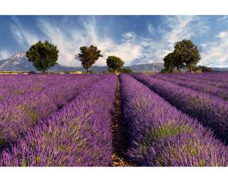 Photo wallpaper «Lavender» 470298
