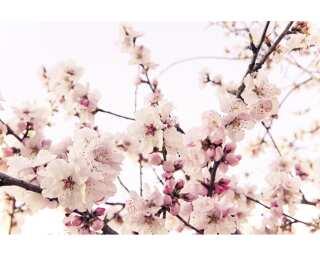Fototapete «Cherry Blossom» 470327