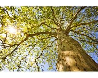 Fototapete «Green Canopy Trees» 470382