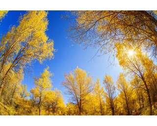 Livingwalls Photo wallpaper «Golden Trees» 470617