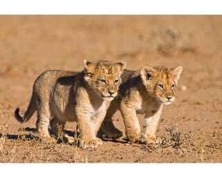 Livingwalls Photo wallpaper «Young Lions» 470636
