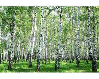 Livingwalls Photo wallpaper «Birch in Summer» 470640