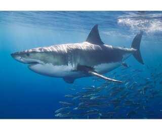 Livingwalls Photo wallpaper «White Shark» 4706851