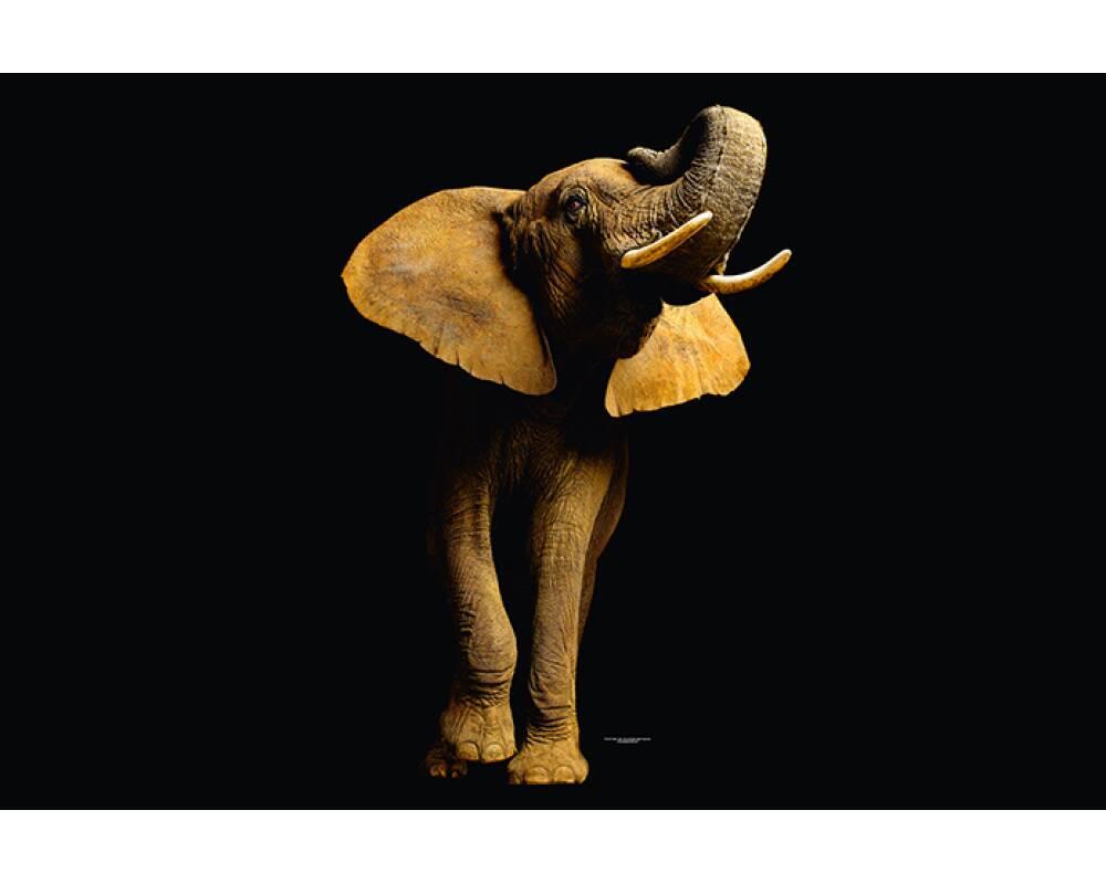 livingwalls fototapete elefant von vorne 470681. Black Bedroom Furniture Sets. Home Design Ideas