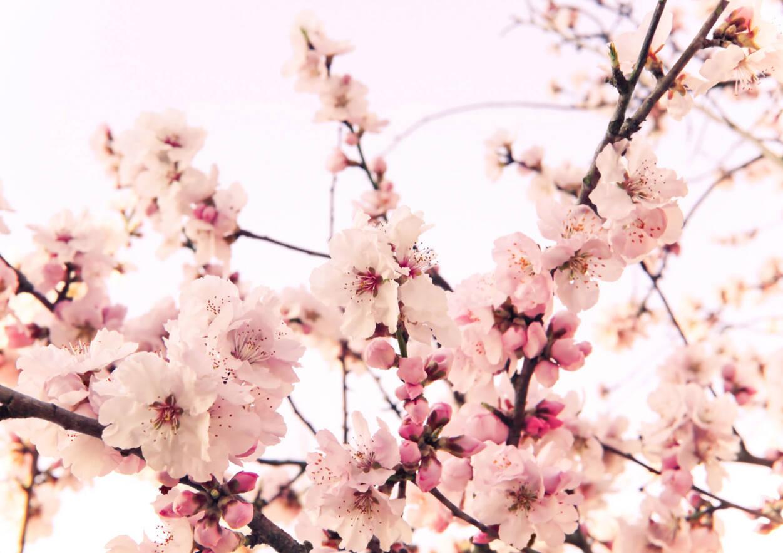 Livingwalls Photo Wallpaper Cherry Blossom 036240