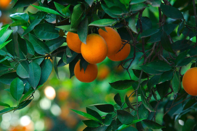 Livingwalls Photo Wallpaper Orange Tree 036690
