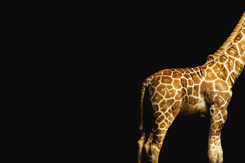 Architects Paper Photo Wallpaper Giraffe 470035