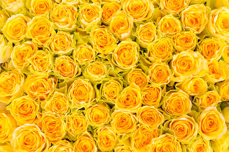 livingwalls photo wallpaper «yellow roses» 470358